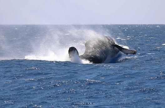 Travel-Photography-Maui-Hawaii-Humpback-