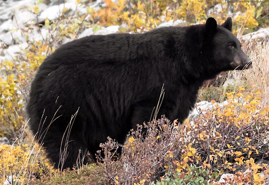 Large Black Bear Galcier National Park
