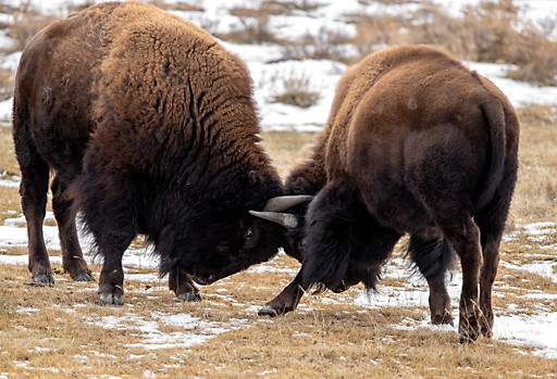 Bison Yellowstone National Park Workshop