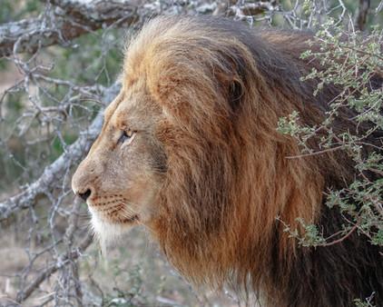 Lion South Africa Safari