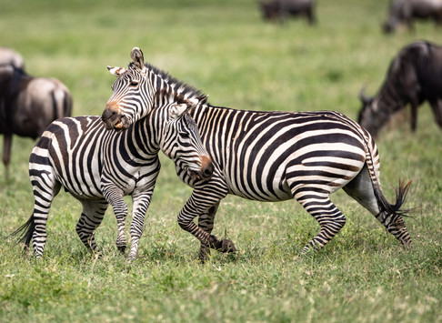 Zebra Tanzania Photography Safari