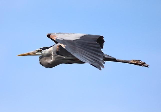 Great Blue Heron Savannah GA