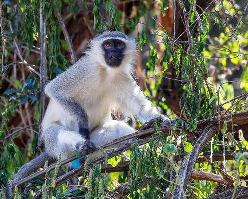 Monkey   South Africa Safari Tripod Travelers