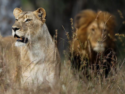 Sout Africa Photography Safari Lions