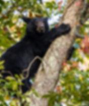 Black Bear Smoky Mountains Photography Workshop