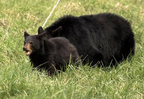 Great Smoky Mountains Black Bear Photogaphy Workshop