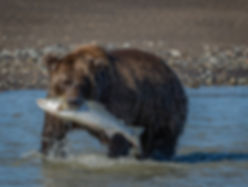 Brown Bear Alska Photography Workshop