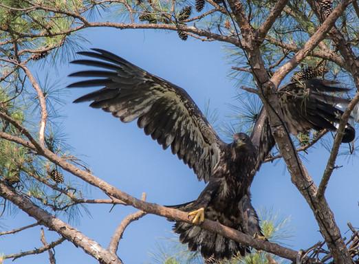 Fledgling Eagle Photography Workshop
