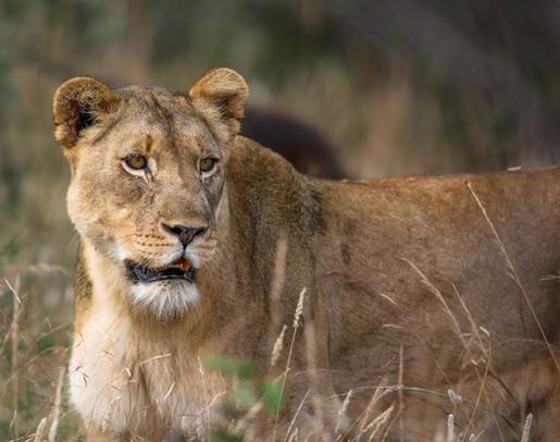 Lioness South Africa Safari Tripod Travelers