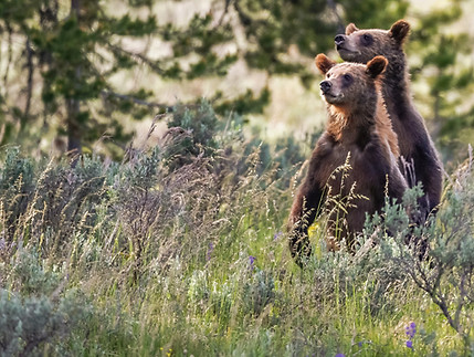 Grizzly Yearlings Grand Tetons Photography Workshop