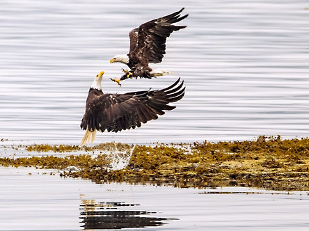 Eagles fighting port hardy photography workshop