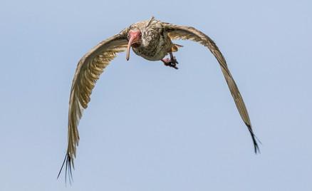 Ibis in flight Savannah GA
