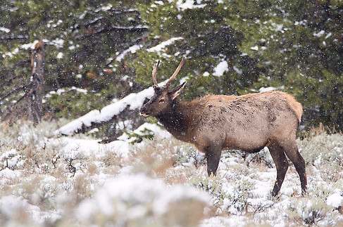 Elk Grand Teton National Park