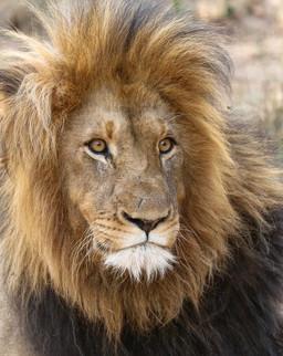 Lion South Africa Safari Tripod Travelers