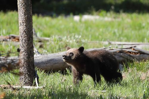 Grizzly Bear Cub Grand Teton National Park