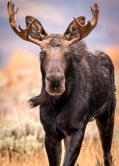 Grand Teton National Park photography workshop moose