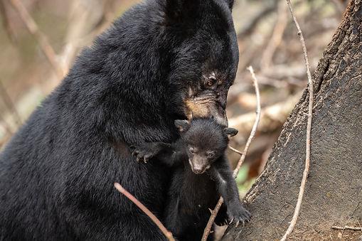 Smoky Mountains Photography Workshop Bears