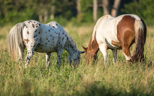 Horses Smoky Mountain National Park