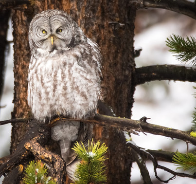 Great Grey Owl Yellowstone National Park