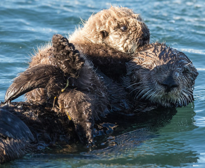 Otter and pup in the water