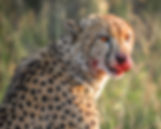 South Africa Photography Safari Cheetah