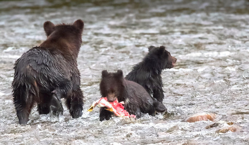 Grizzly Cubs and sow fishing salmon Great Bear Rainforest