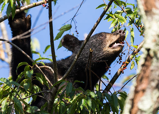 Smoky Mountains Wildlife Photography Workshop Black Bears