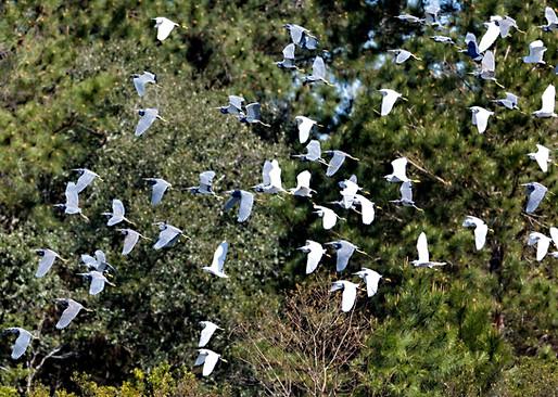 Flock of Egrets Savannah Photpgraphy Workshop