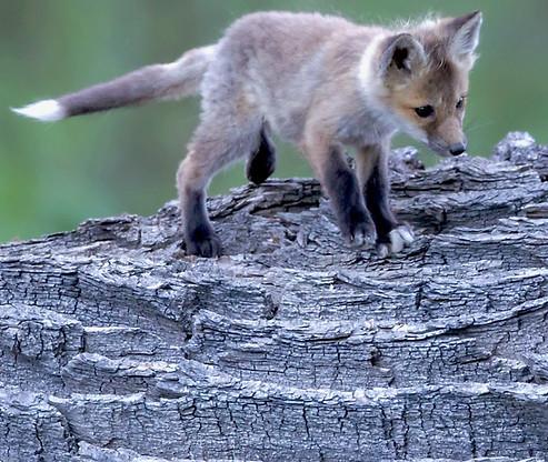 Fox Kit Grand Teton National Park