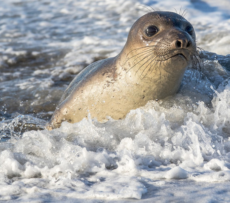 Elephant Seal Pup in water