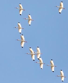 Flock of Ibis Savannah GA