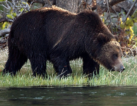 Grizzly Bear near river Yellowstone National Park