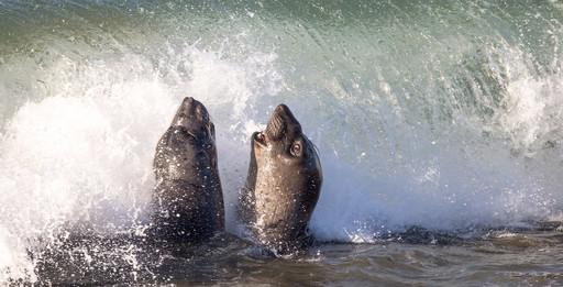 Elephant Seals fighting in water