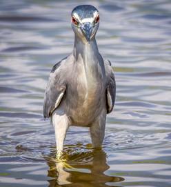 Heron Maui Hawaii