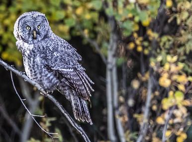 Great grey owl wildlife photography workshop