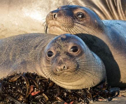 Cute Elephant Seal Pups