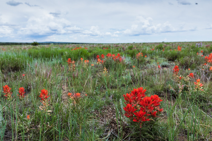 """Castilleja, commonly known as Indian paintbrush or prairie-fire, on Mesa de Maya during a good rain season. Zita wrote of a spring after being snowed in at the Tobe school for months. """"It was the most beautiful spring I have ever seen. The grass was soon knee high, wild flowers bloomed everywhere, dozens of varieties, acres of Indian paint brush and Blue Beard tongue.""""  Frontier Times article March, 1981"""