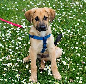 Puppy on Training Leash