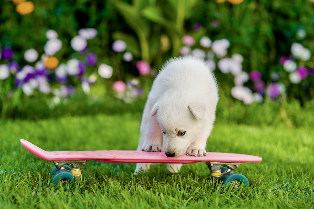 Puppy with Skateboard, Puppy Socialization, Hearts and Hounds Dog Training