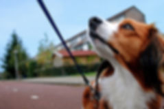 Attentive dog on leash with eyes on walker