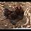 Thumbnail: Easter Egger Chicks