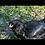 Thumbnail: Ameracauna chicks