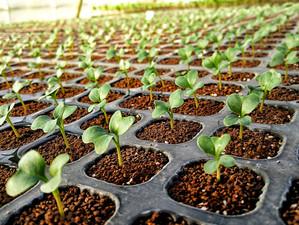 春野菜の育苗開始