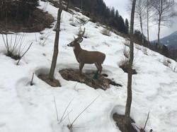 Cervo, sagoma 3D STAC
