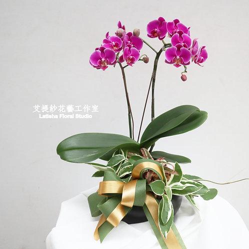 質感送禮蝴蝶蘭盆