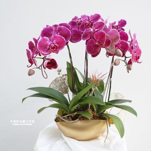 三桿蝴蝶蘭+三角金盆