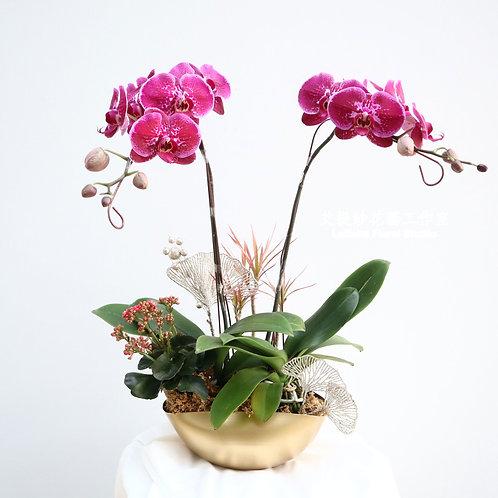 雙桿蝴蝶蘭+三角金盆
