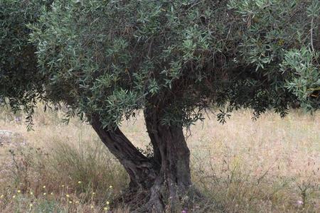 Olivo: Representación árbol de los problemas