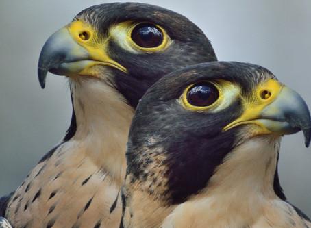 Los dos halcones