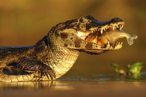 Aymara Lodge Pantanal - fauna jacaré